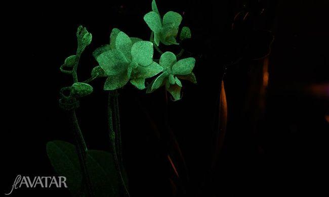 Világító virágokat fejlesztett egy magyar csoport