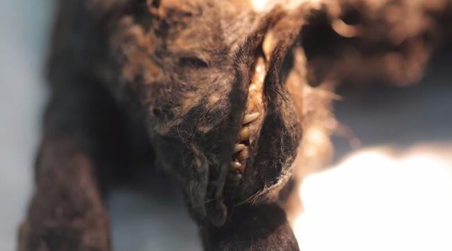 Szibéria ontja  az állati ősmaradványokat
