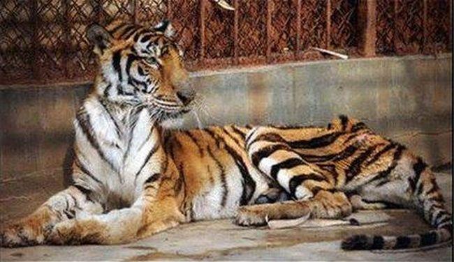 Halálra éheztetik a tigriseket, csontjukat borral keverik