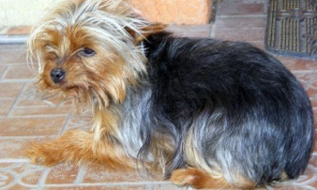 Elrabolta Picúrt, a kiskutyát és fosztogatott