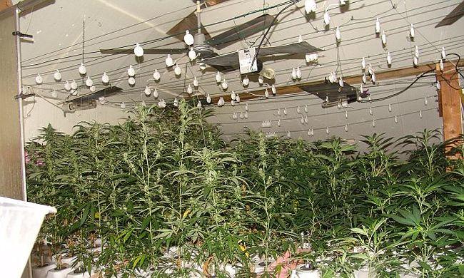 Cannabist termesztett az angol férfi Magyarországon