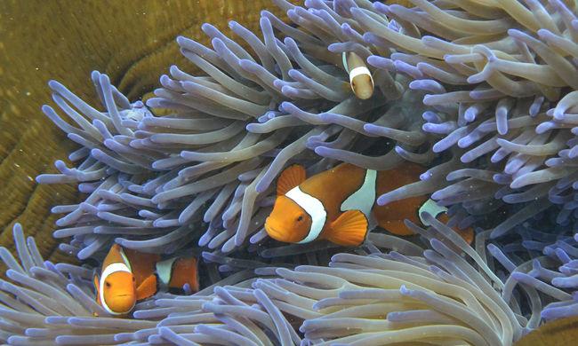 Sosem látott mértékben pusztul a Nagy-korallzátony
