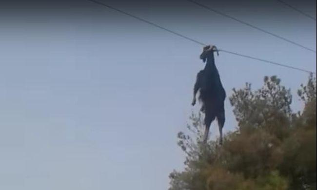 Távvezetéken lógott a kecske - videó