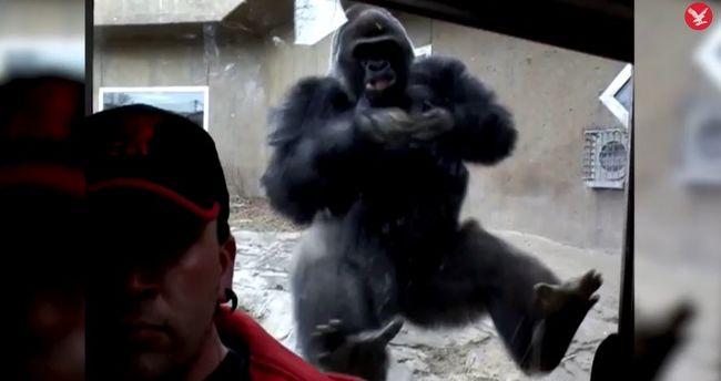 Nekifutásból támad a férfira a gorilla, csak az üveg tartja vissza - videó