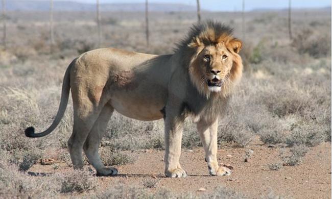 Megöltek és brutálisan megcsonkítottak három oroszlánt