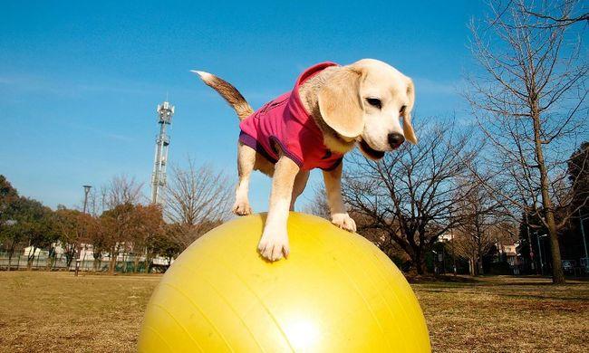 Jógalabdán egyensúlyozik a kutya - videó