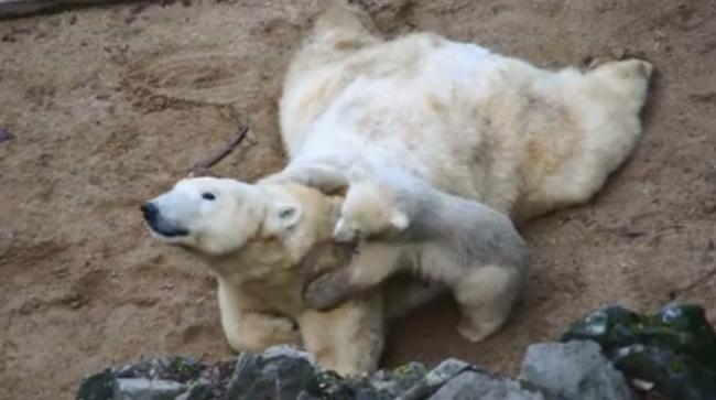 Ha játékról van szó, nincs kitartóbb ennél a jegesmedvénél - videó
