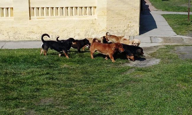 Gyilkos kutyafalka tulajdonosát keresi a rendőrség - felismeri az állatokat?