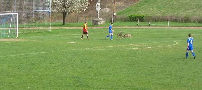 Két őz is focizott a szombati meccsen Komlón - videóval