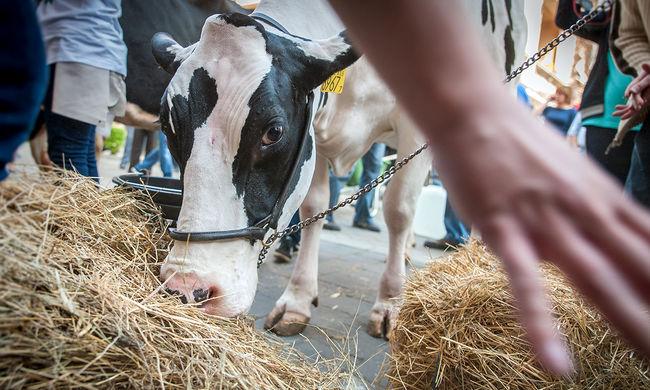 Csökkentenék a tehenek bélgázképződését, hogy megmentsék a bolygót