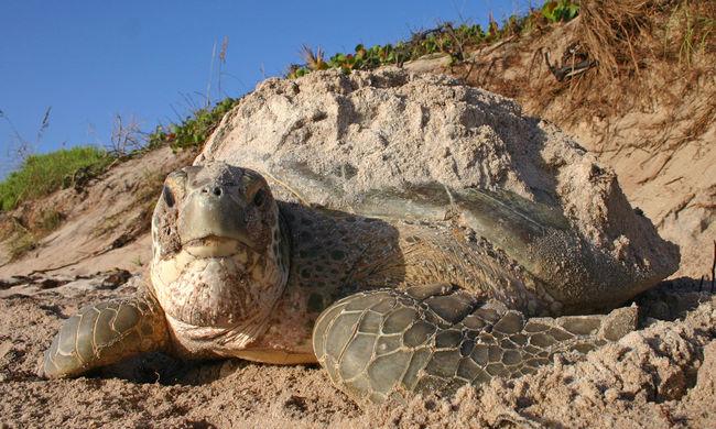 Mégsem halnak ki a levesteknősök