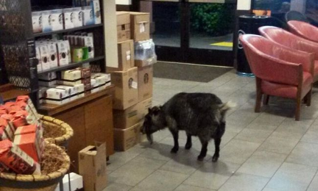 Szökött kecske tévedt a Starbucksba