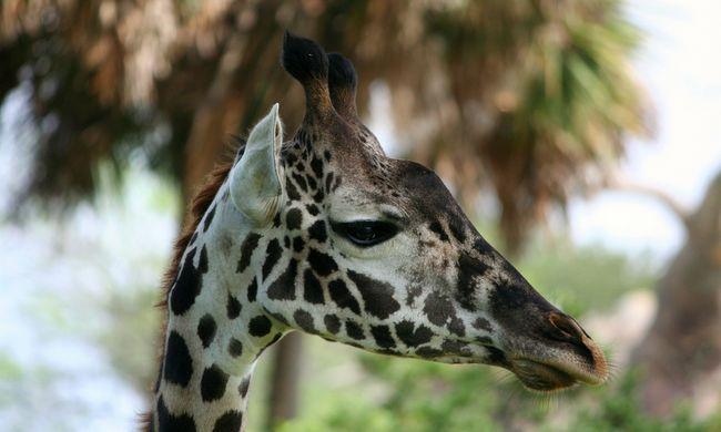 Most először született zsiráf a debreceni állatkertben