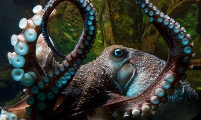 Megszökött Inky, a polip az akváriumból, gondozói nem látják többé