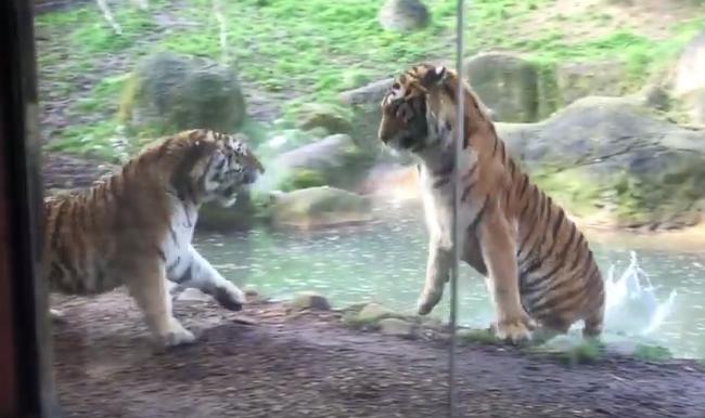Ezért nem szabad felébreszteni az alvó tigrist - videó
