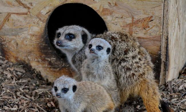 Szurikáták és kúszósül született a miskolci állatkertben