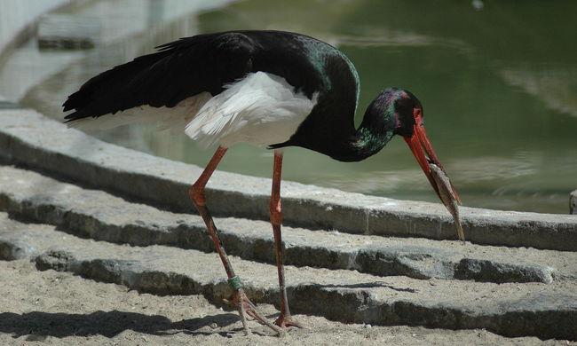 Elfoglalták a műfészkeket a fekete gólyák