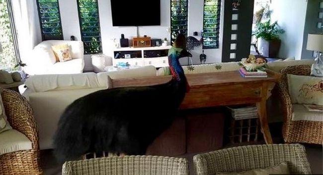 Hatalmas kazuár tört be az otthonukba