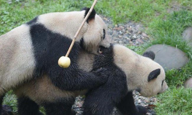 Különleges módszerrel sikerült szaporodásra bírni a pandapárt