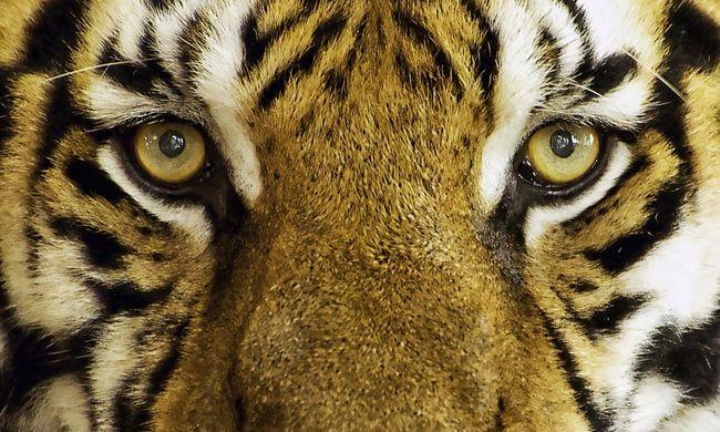 Megölte gondozóját etetés közben a 13 éves tigris