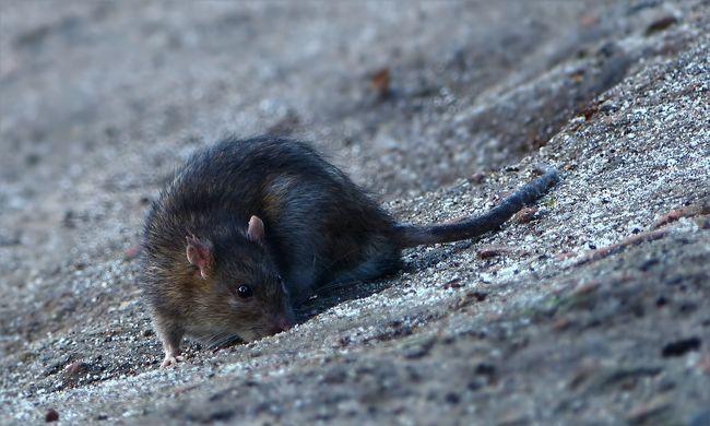 Nem bírnak a több millió patkánnyal: meglepő fegyvert vetnek be ellenük