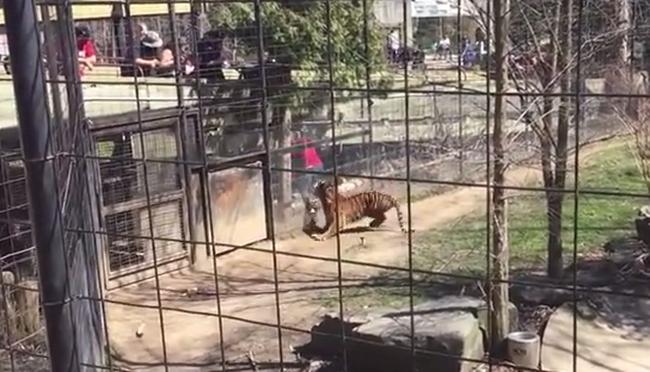 Leesett a kalapja, ezért bemászott a tigris mellé - videó