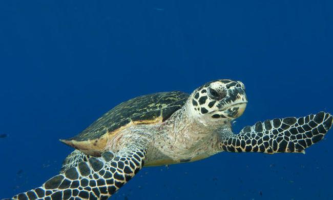 Elengedtek egy teknőst, ami aztán 3 hónap alatt 5500 km-t tett meg