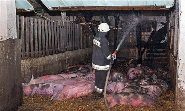 Száz disznó égett meg a tűzben