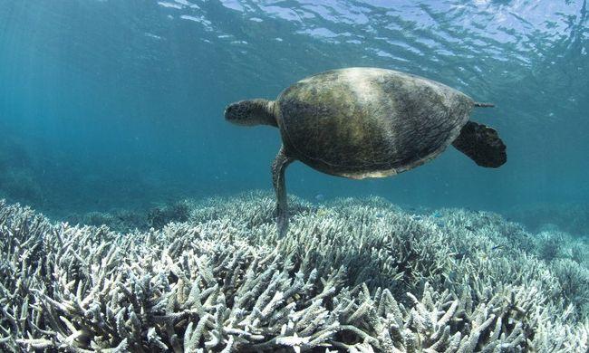 Alig maradt ép korall a Nagy-korallzátonyban