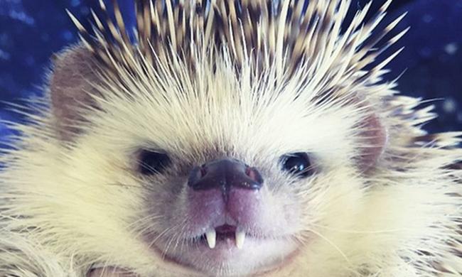 Vámpírfogas sün az Instagram új sztárja