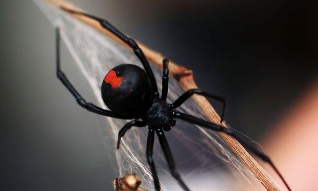 Másodszor csípte meg férfiasságán egy pók a vécén ülő férfit