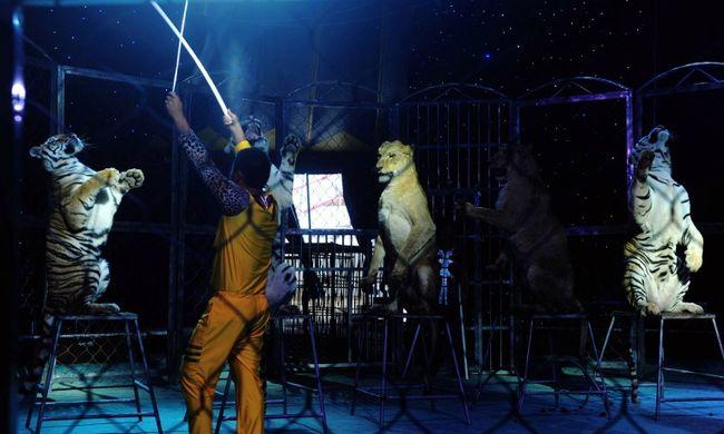 33 oroszlánt mentettek ki a cirkusz fogságából, ahol karmaikat is kitépték