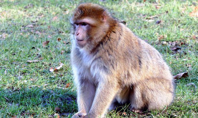 Hónapokig védi a majmokat a HIV-vírustól egy speciális antitest