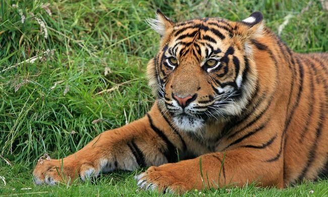 Tigrismészárlás volt Indiában