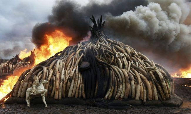 105 tonna elefántagyarat égettek el, hogy megszűnjön az elefántvadászat