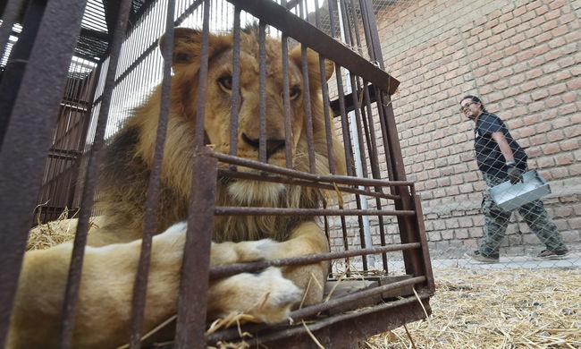 Rezervátumba vitték a cirkuszokból megmentett 33 oroszlánt