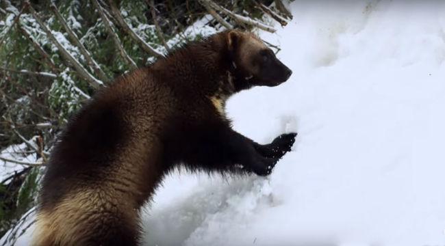 Hegyimentő rozsomákokat képeztek ki, a hó alatt is megtalálják az embert - videó