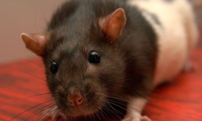 Aggódó szülők vallottak: patkányok lepték el a Heves megyei várost