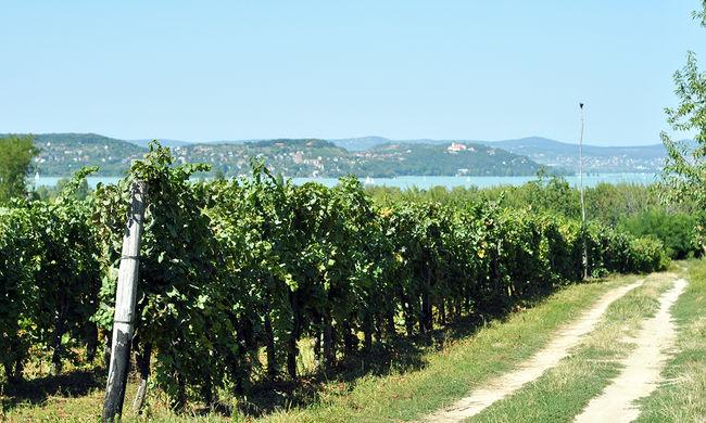 Mozartot hallgatnak a szőlőtőkék, a borász szerint jobb lesz a termés