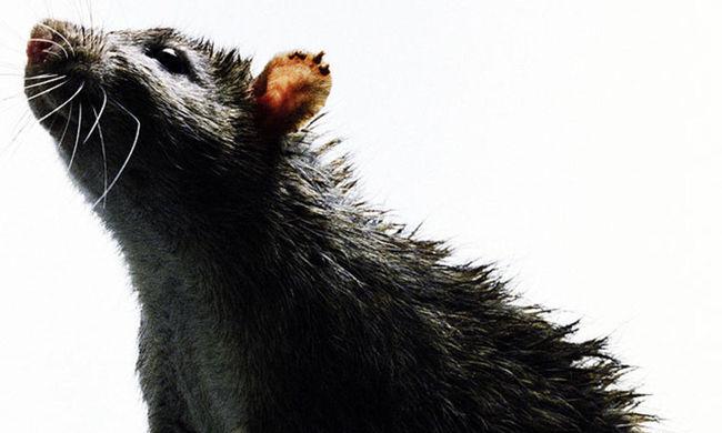 Erre senki sem számított: gusztustalan, mit tettek a bűnözők a patkánytetemekkel