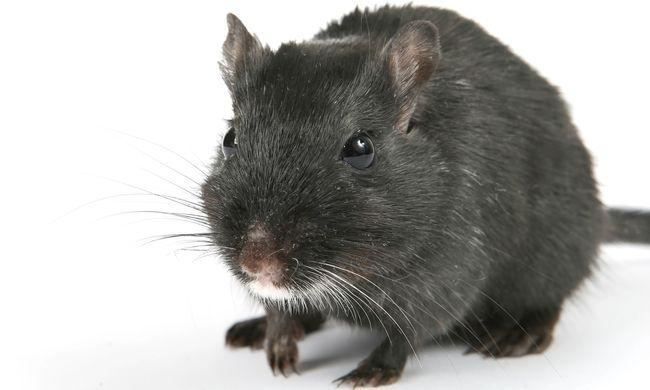 Fogjon patkányt - pénzért