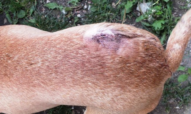 Baltával támadt a szomszédja kutyájára, mert átszökött hozzá