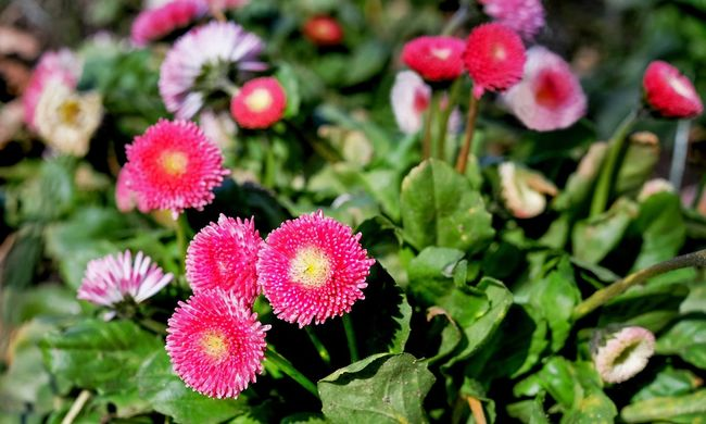 Pécsi világcsúcs: 16 ezer virágot ültettek el fél óra alatt