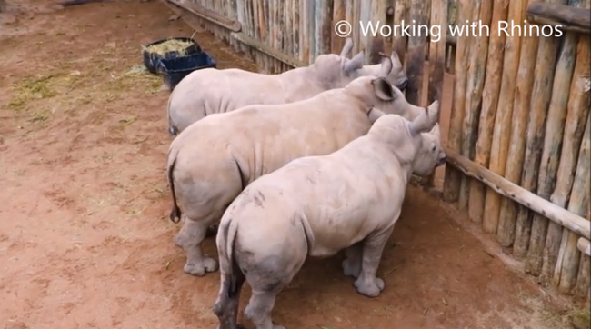 Földöntúli hangon sírnak az orrszarvúk, ha elfogy a tejük - videó