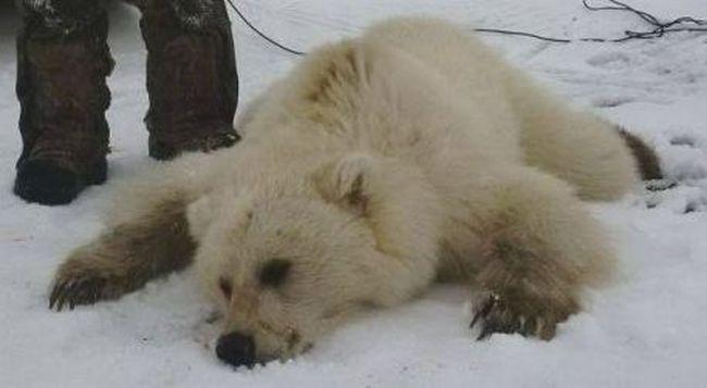 Új faj tűnt fel: egymással szaporodnak a grizzlyk és a jegesmedvék