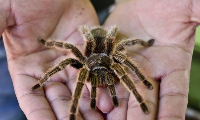 Két tarantula miatt tört ki a pánik a repülőn