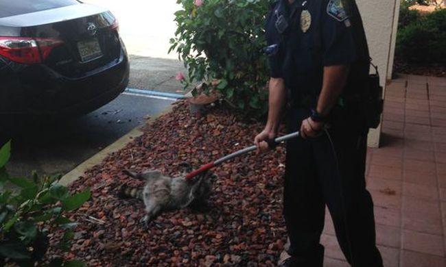 Betörő miatt hívták a rendőrséget - kiderült, csak egy mosómedve volt az épületben