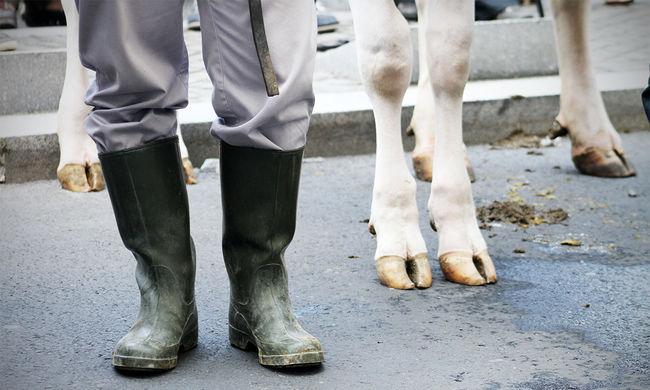 """""""Az utolsó demonstrációnkon szabadon is engedjük őket"""" - újra tehenekkel vonultak a Belvárosban a tejtermelők"""