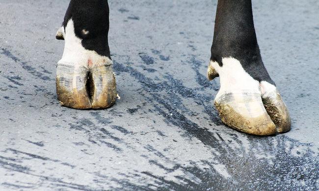 Hátsó ülésre tuszkolva lopták a tehenet - videó