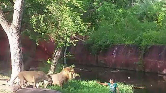 """Részegen ugrott az oroszlánok közé, hogy """"kezet fogjon"""" velük - videó"""
